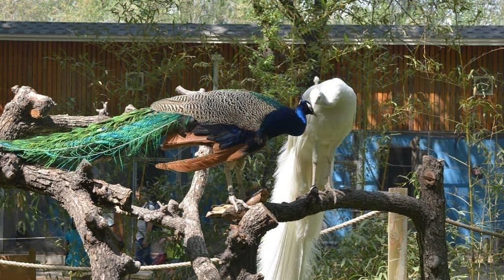 Павлины в зоопарке