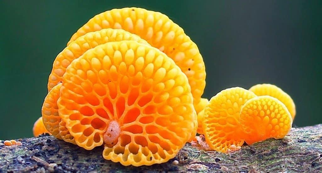 Оранжевый пористый гриб
