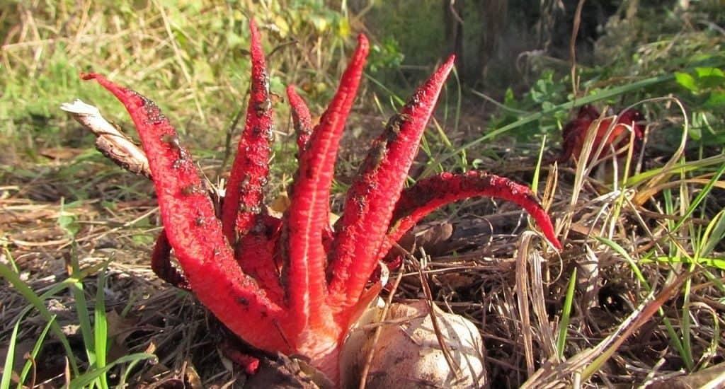 Антурус Арчера или «Пальцы дьявола»