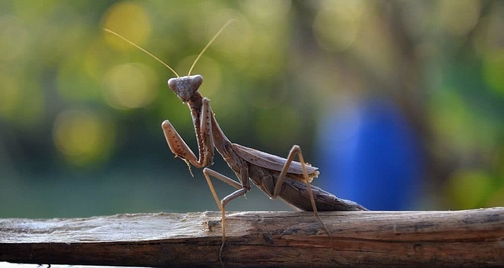 Богомол («Mantis religiosa»)