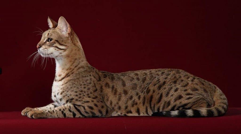 Ашера - редкая порода кошек