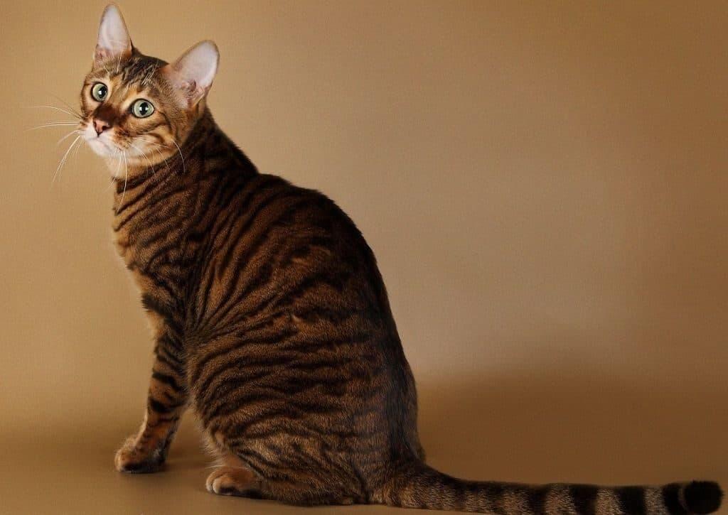 Тойгер - порода кошек