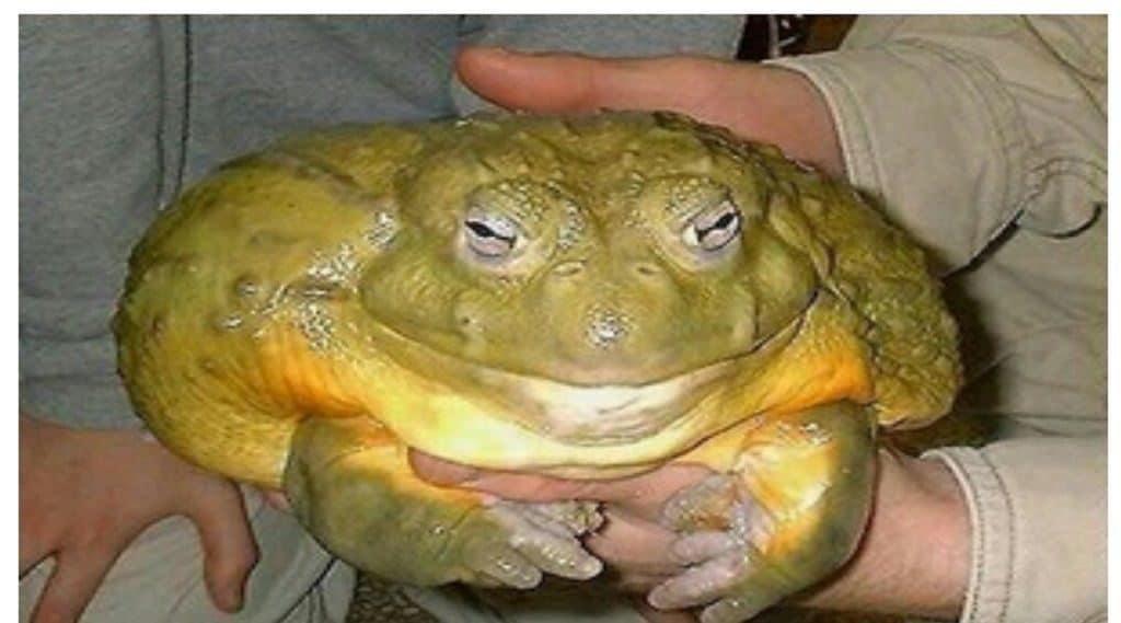 Самая крупная лягушка