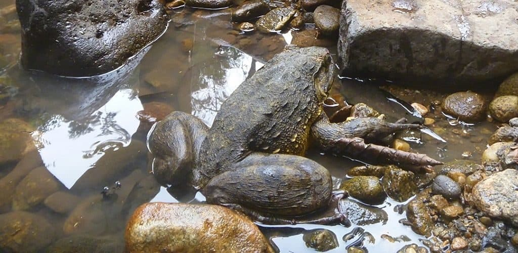 Среда обитания лягушки голиафа
