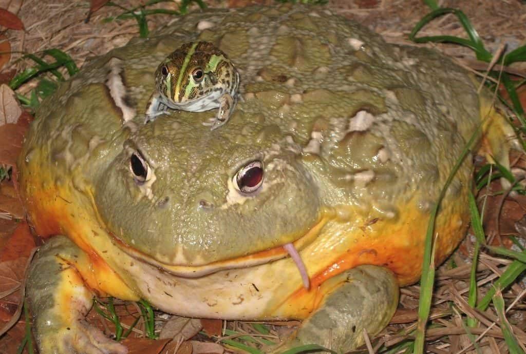 Чем питается лягушка голиаф