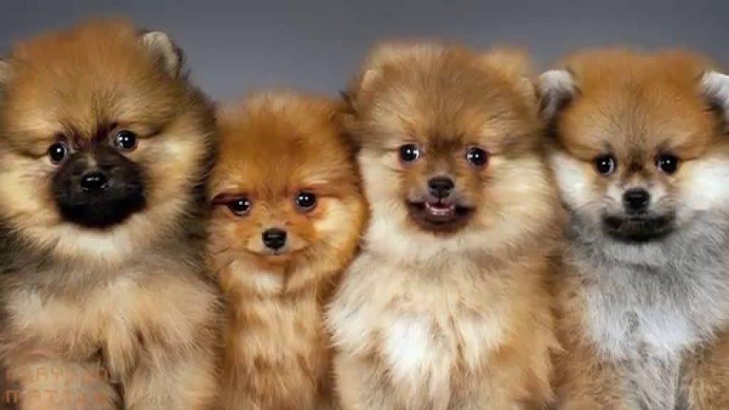 Породы самых маленьких собак