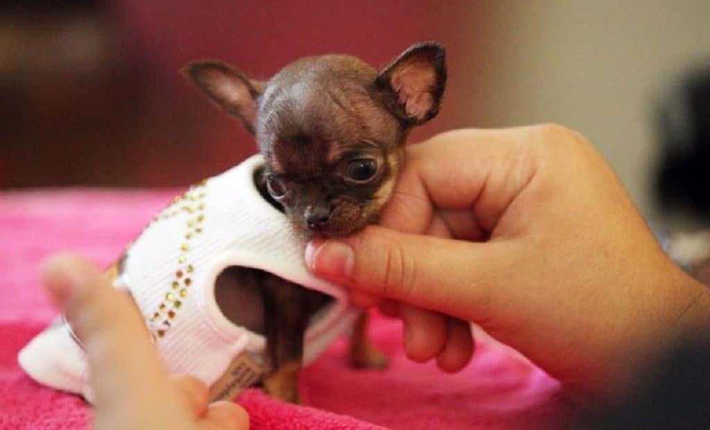Чихуахуа Милли - самая маленькая собачка в мире