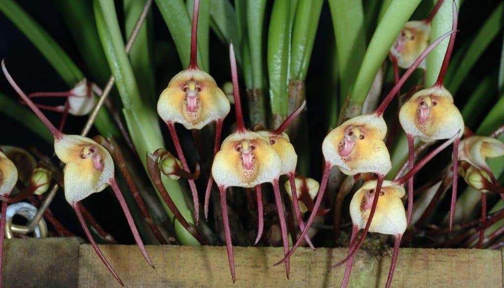 Орхидея Дракула («Обезьянья мордочка»)