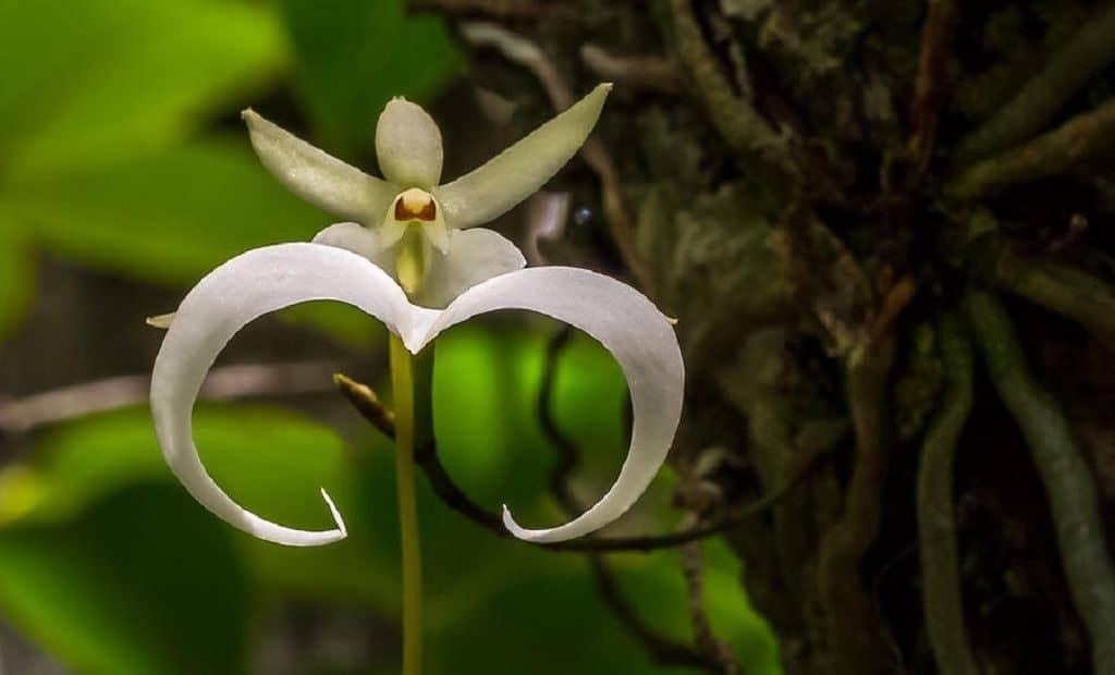 Орхидея Призрак