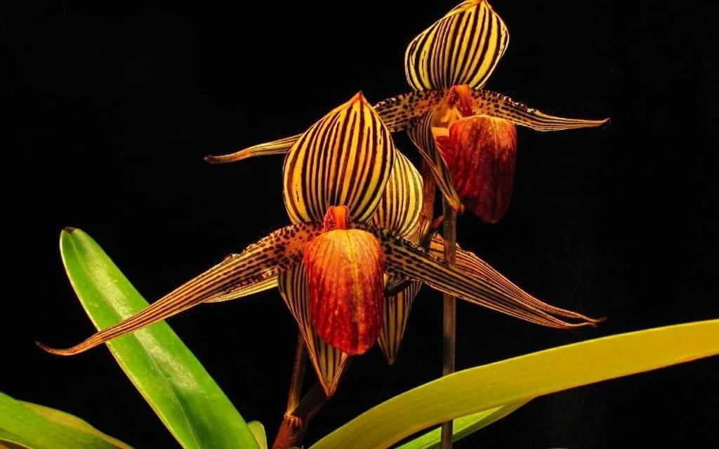 Орхидея Ротшильда (Золото Кинабалу)