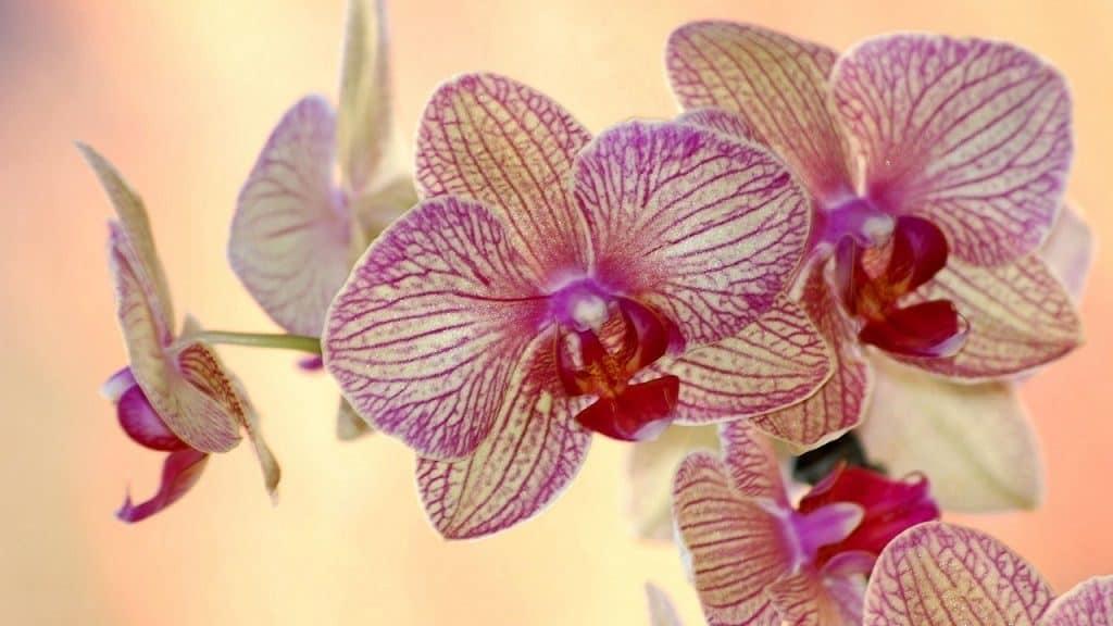 Орхидея Ладьян полосатый