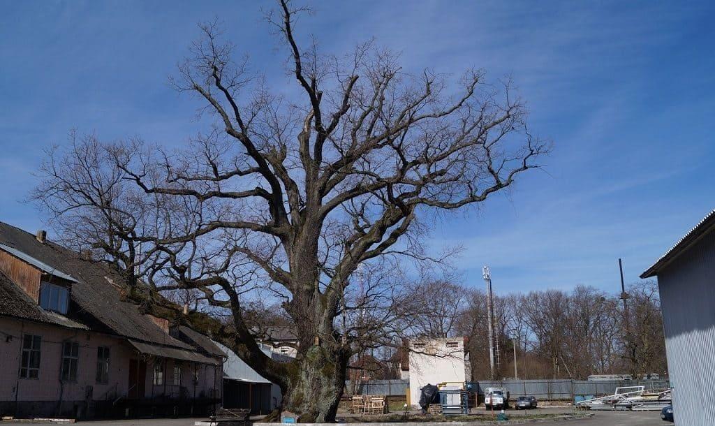 Грюнвальдский дуб в городке Ладушкин