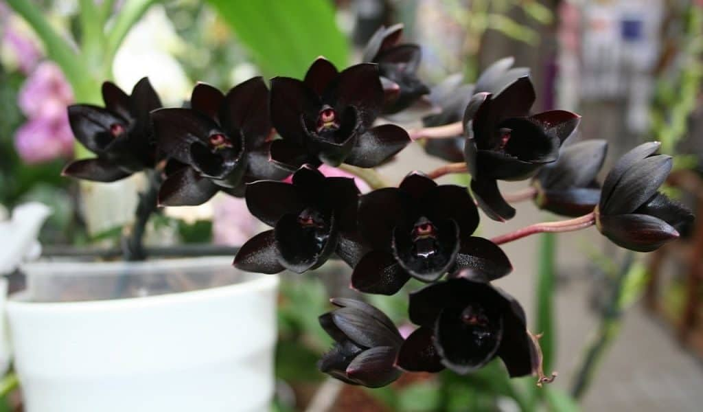 Черная орхидея Fredclarkera