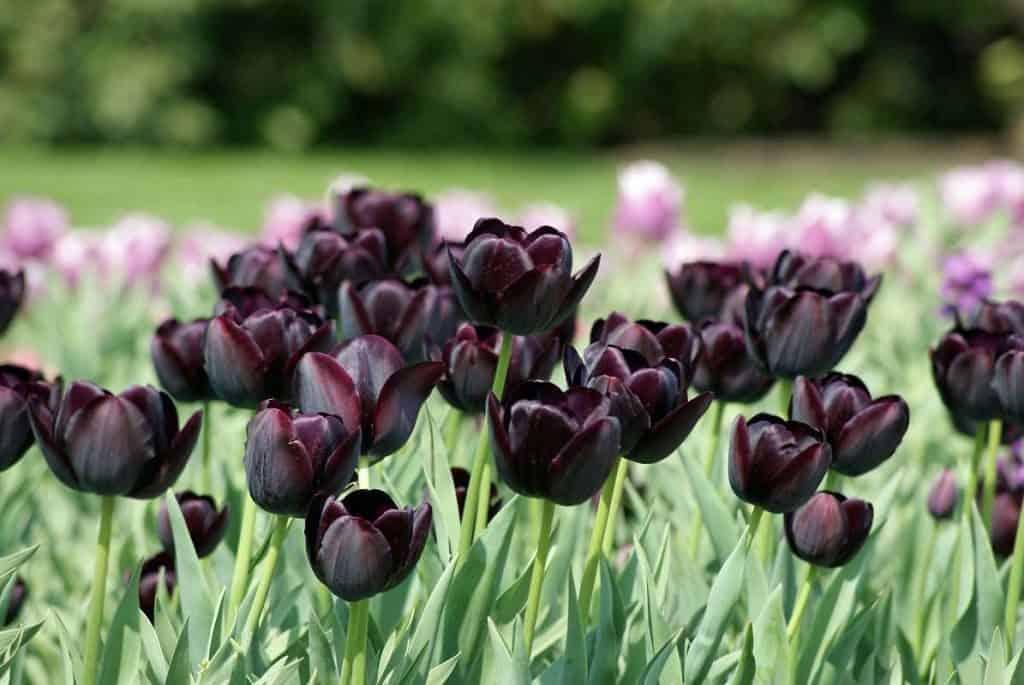 Тюльпан «Король ночи»