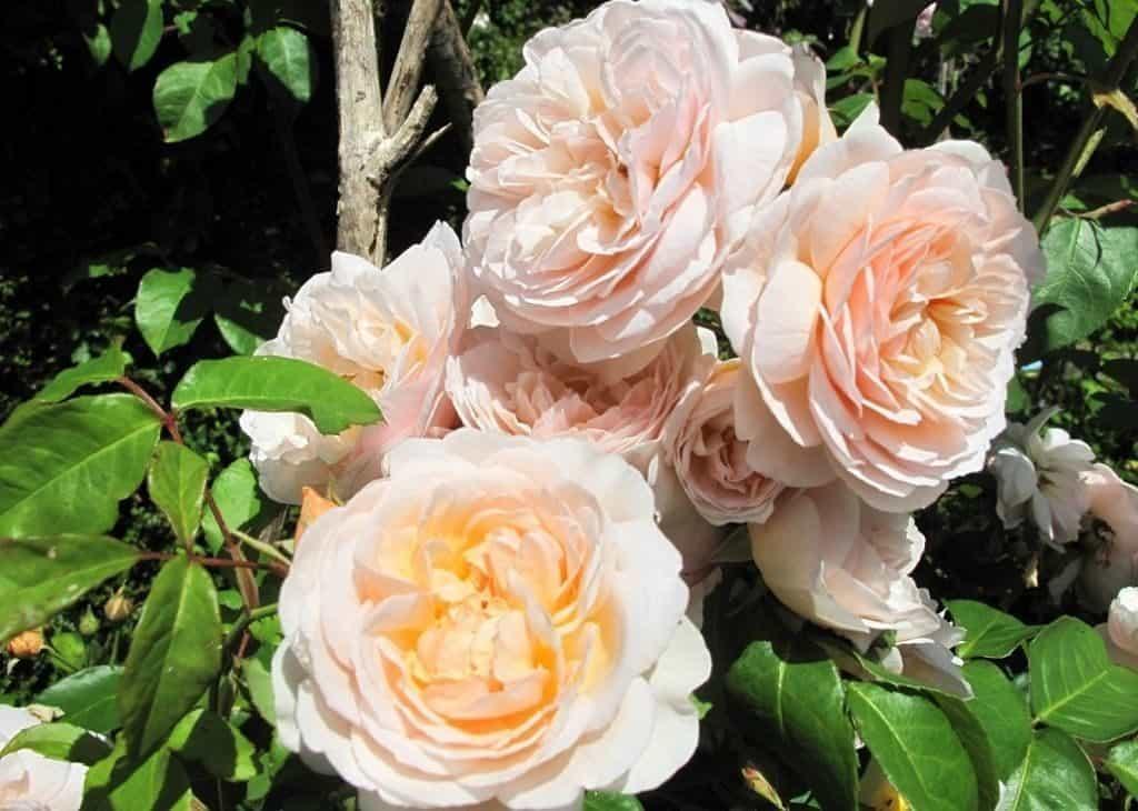 Роза Джульетты