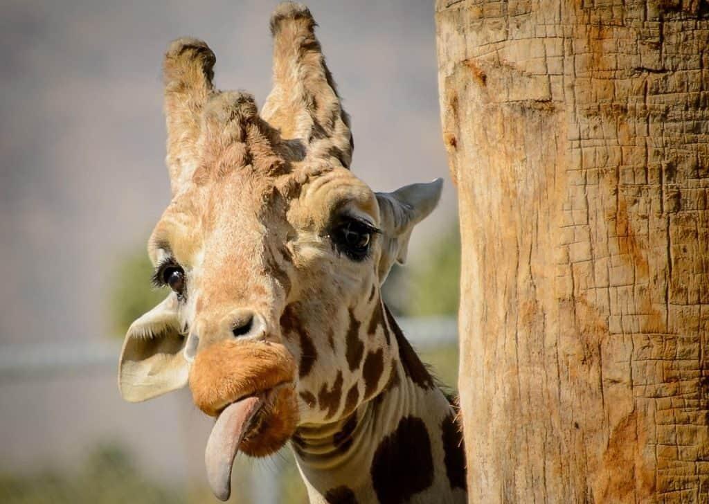 У жирафа самый длинный язык