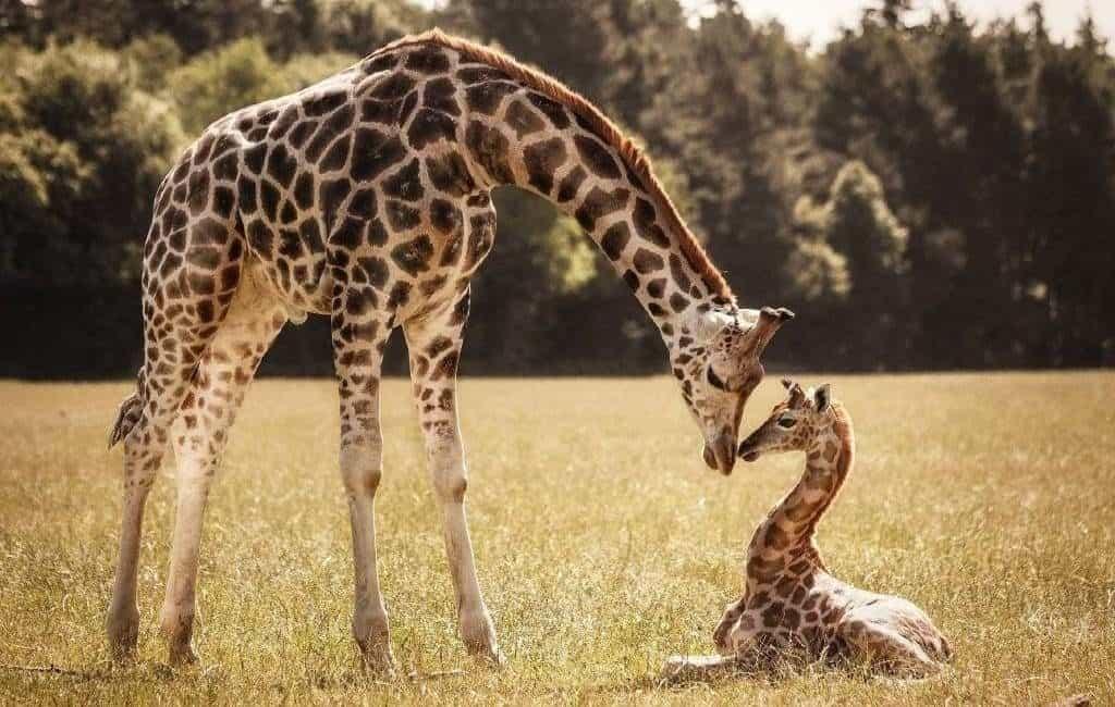 Потомство жирафа
