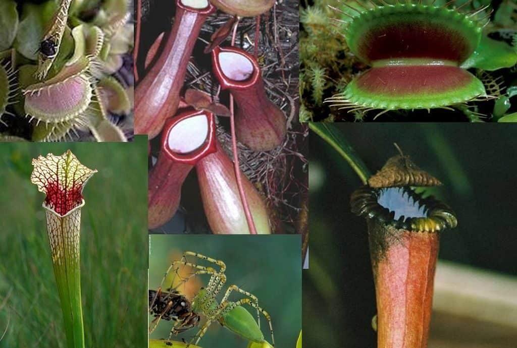Ловушки хищных растений