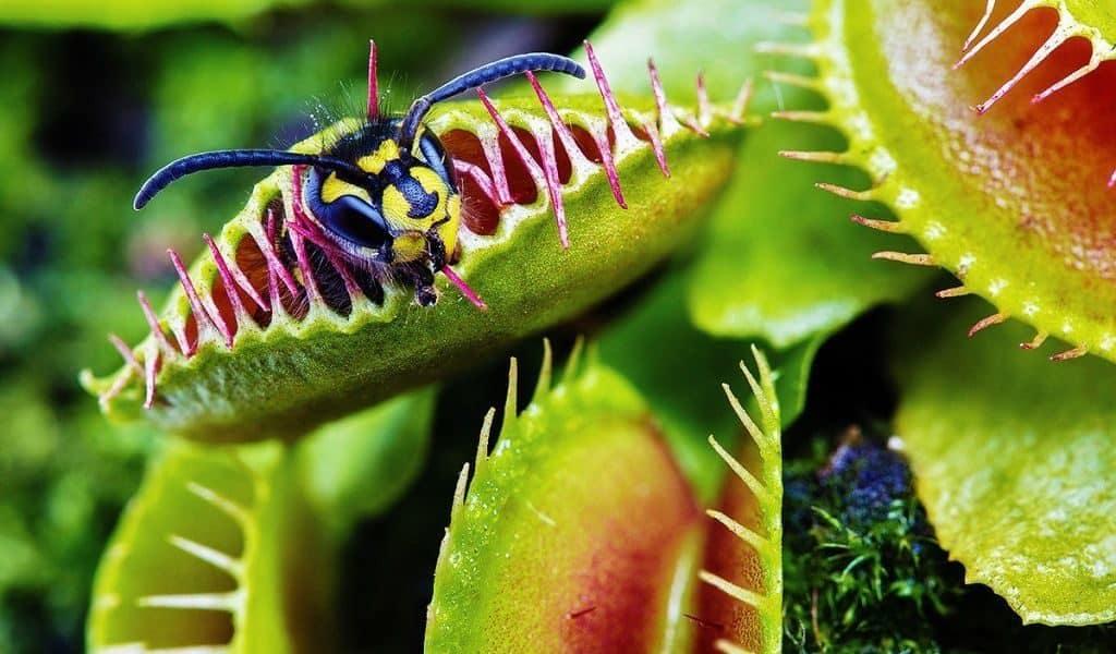 Венерина мухоловка (Dionaea)