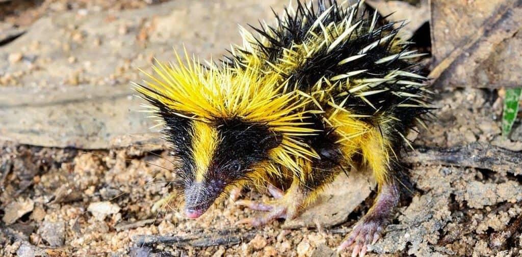 Тенрек (Мадагаскар)