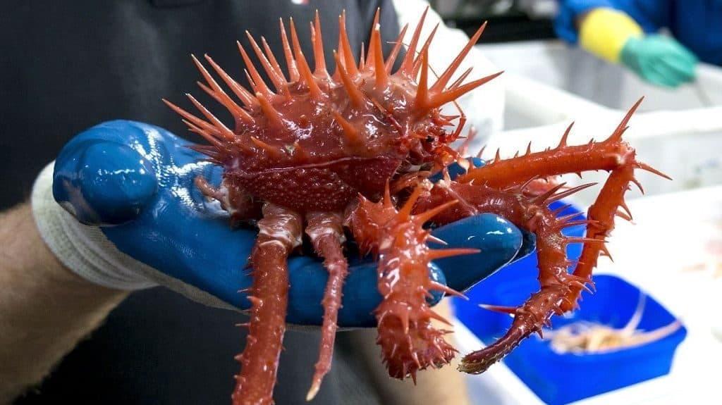 Тихоокеанский колючий краб