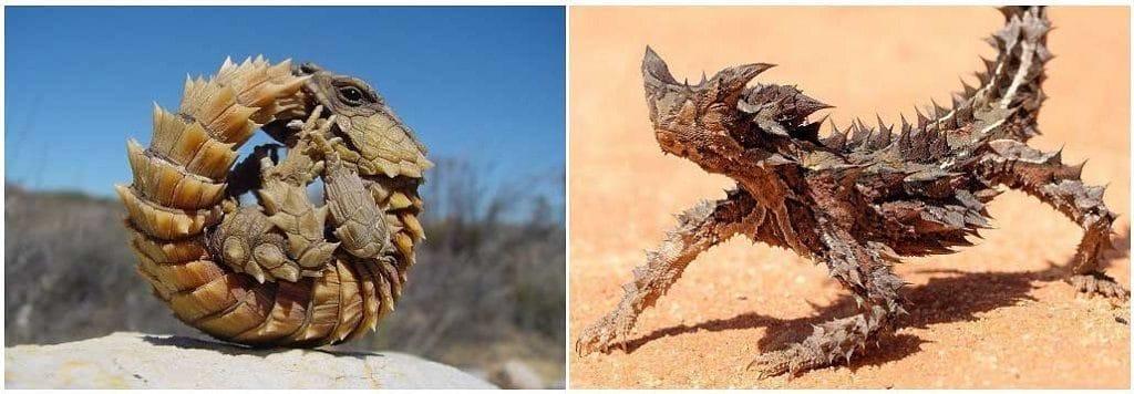 Поясохвост и австралийская ящерица Молох