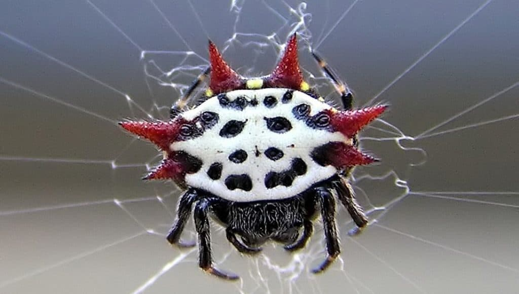 Шипастый паук-кругопряд