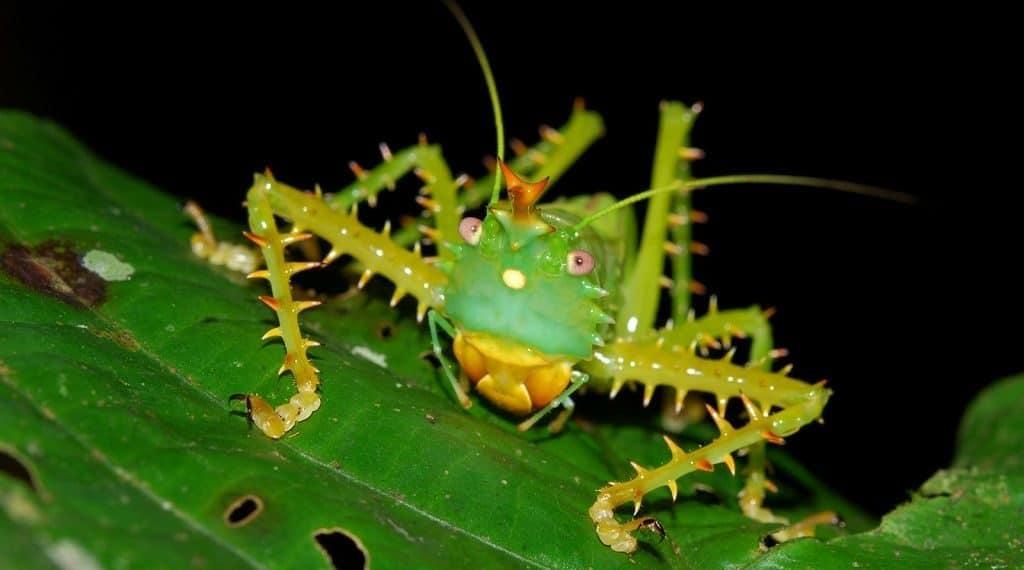 Эквадорский кузнечик Иглистый дьявол