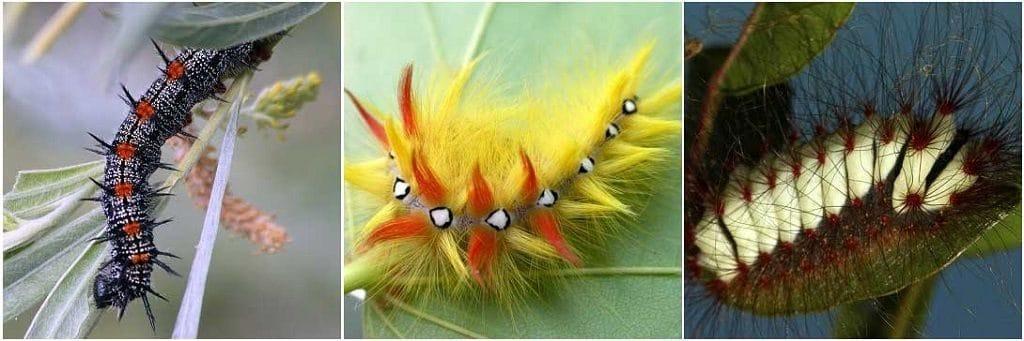 Волосатые гусеницы
