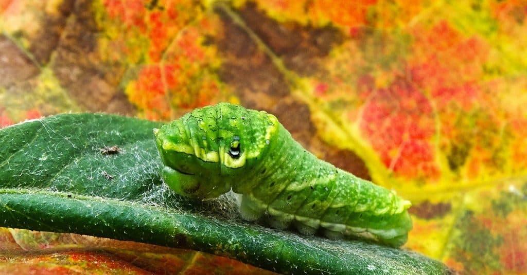 Гусеница бабочки-парусника