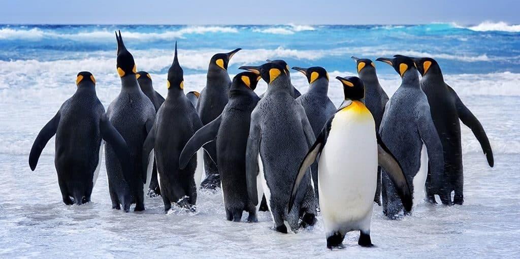 Пингвины - особенности строения