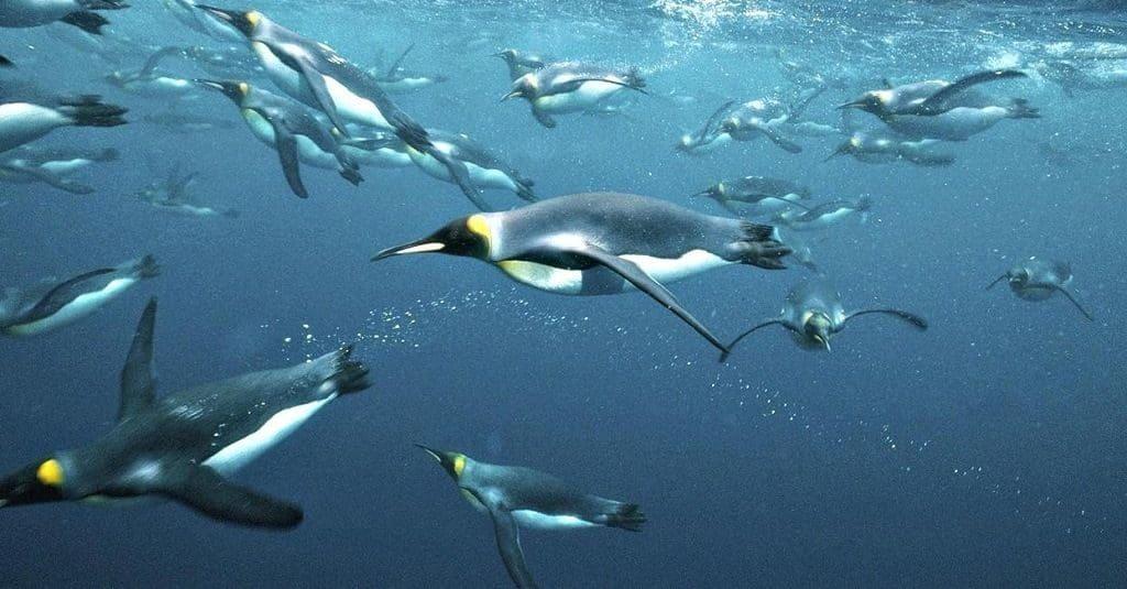 Как плавают пингвины