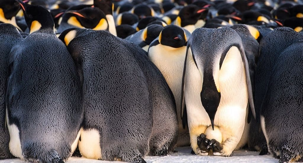 Пингвин высиживает яйцо