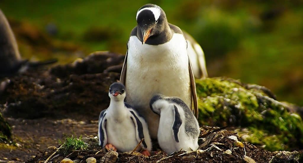 Пингвин и пингвинята