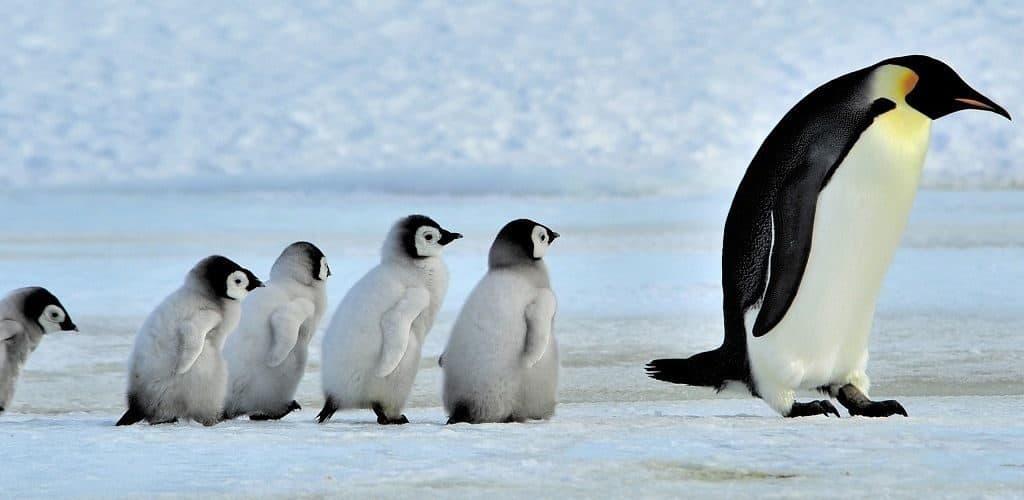 Как воспитывают пингвинят