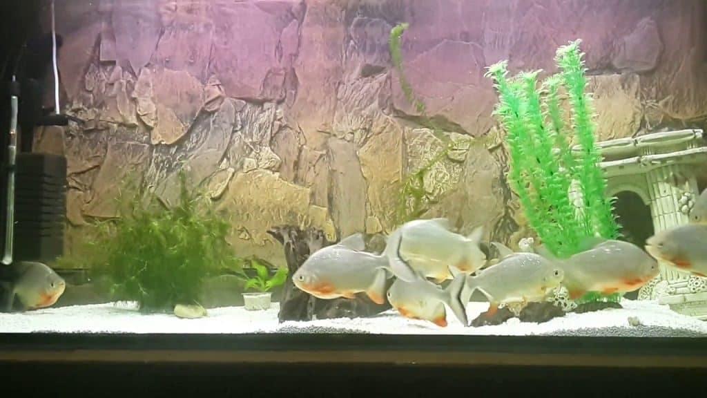 Как живут рыбы паку в неволе
