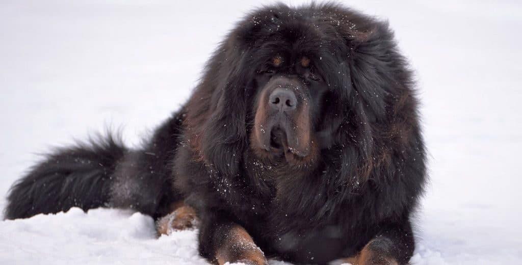 Тибетский мастиф зимой