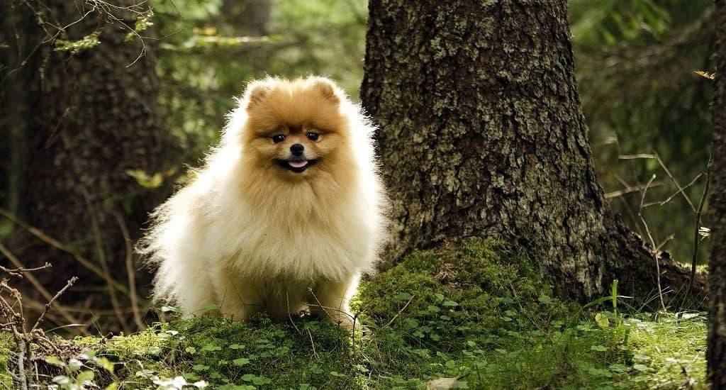 Порода собак - шпиц