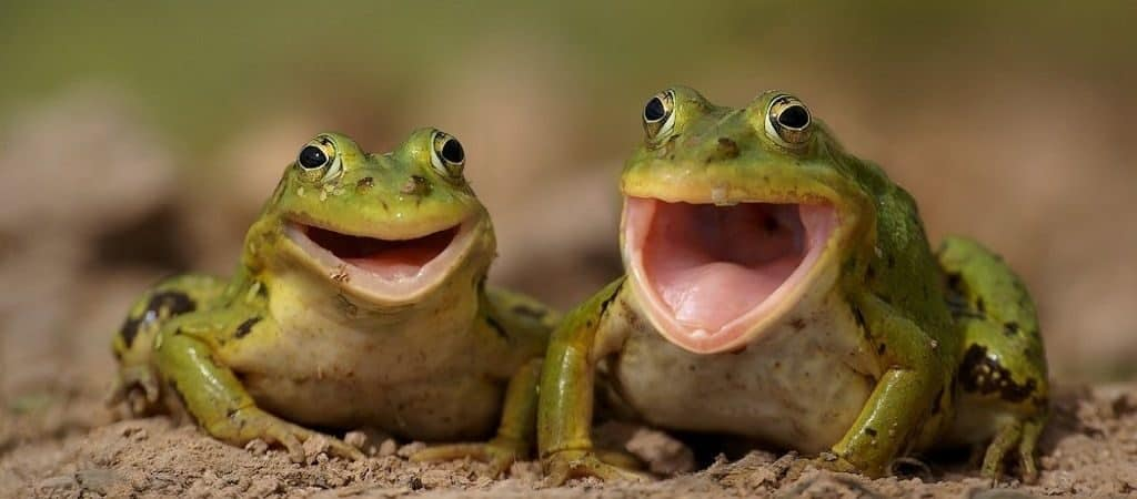 Квакающие лягушки