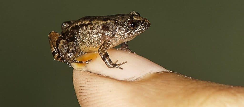 Самый маленький вид лягушек обитает в Папуа-Новой Гвинее