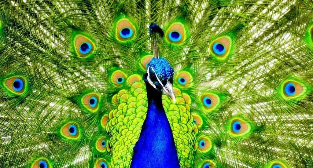 Яркий хвост павлина