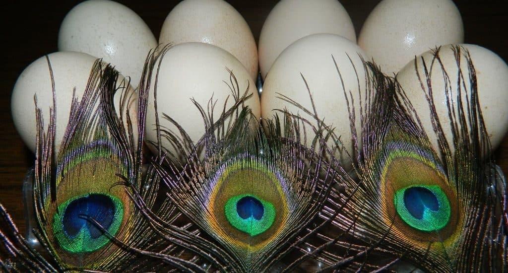 Павлиньи яйца