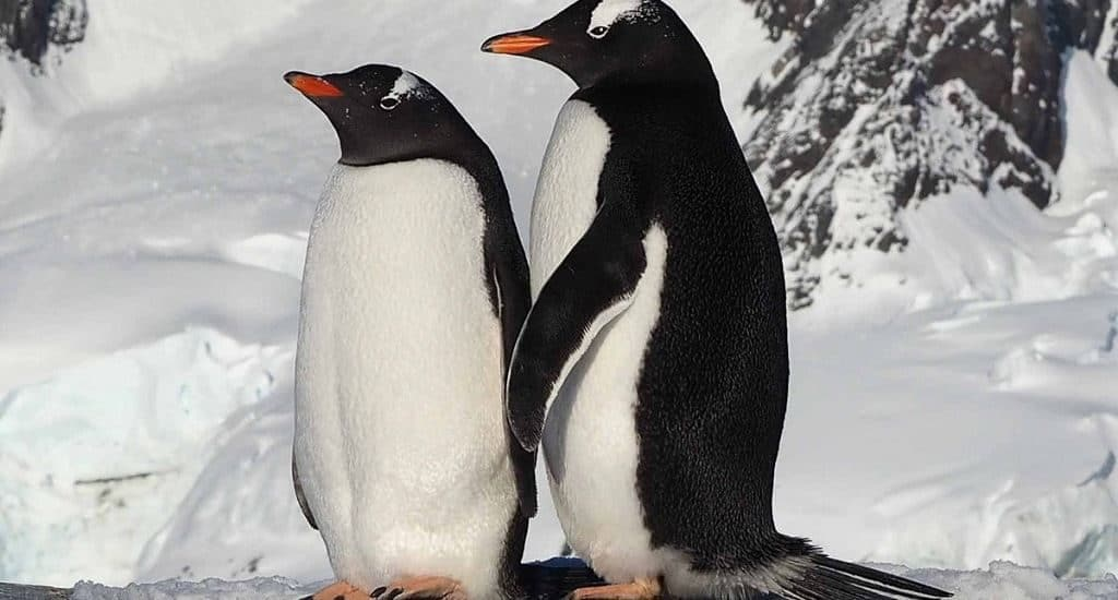 Пара пингвинов