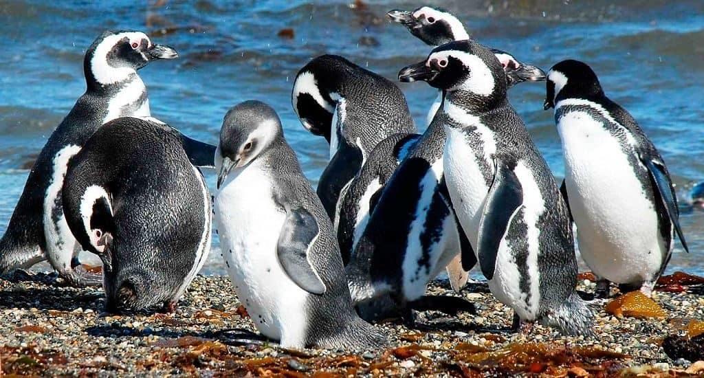 Магеллановы пингвины