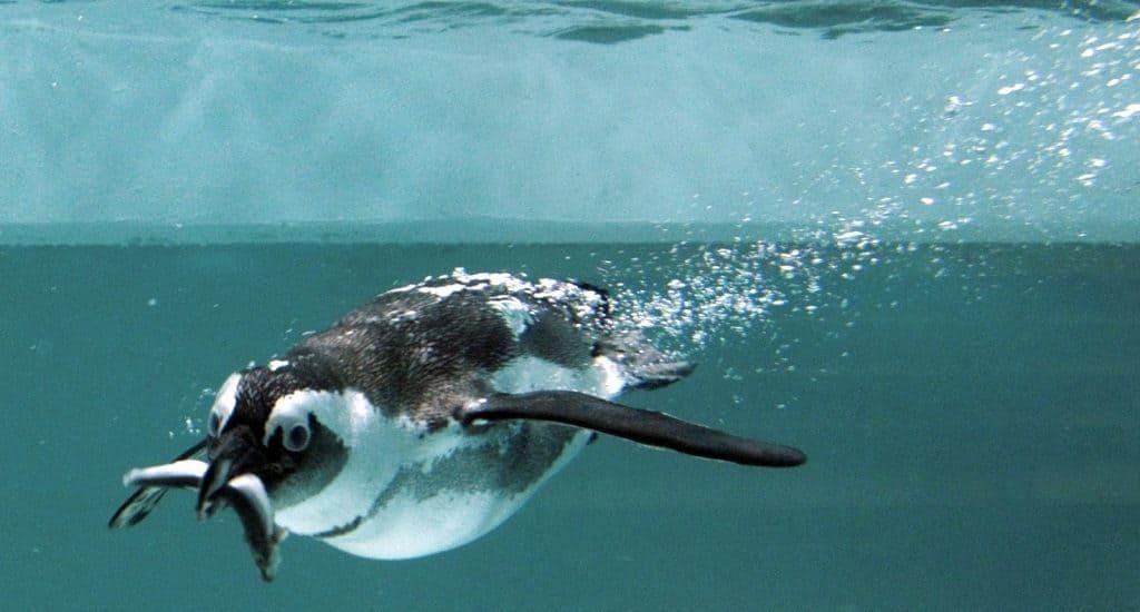 Пингвин в воде