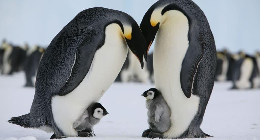Потомство пингвинов