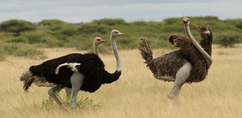 Где обитает страус