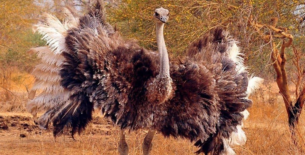 Оперение страуса
