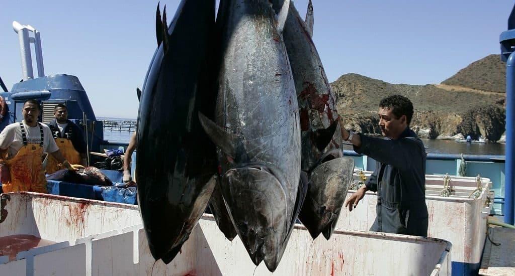 Как ловят тунца