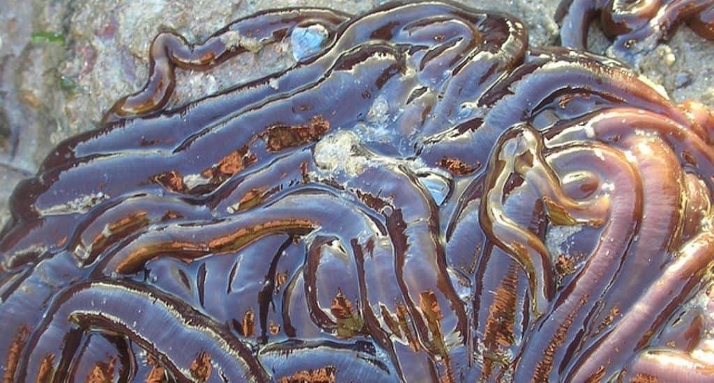 Немертина вида Lineus longissimus